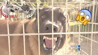 Download MALINOIS AGRESSIF // INAPPROCHABLE // PARTIE 1 // 1080 HD Video