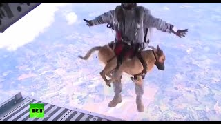 Download RAW: Dogs go through parachute training for Colombia military Video