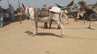 Download Super Murrah Donkey Meeting First Time Video