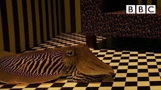 Download Can Cuttlefish camouflage in a living room? | Richard Hammond's Miracles of Nature - BBC Video