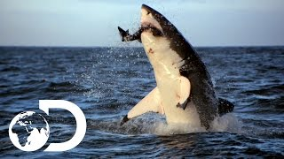Download Incredible Footage of Sharks Leaping Out the Water Video