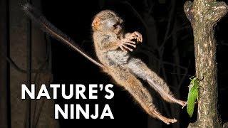 Download Tarsiers: Creepy Little Ninjas Video