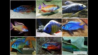 Mixed African Cichlids Free Download Video MP4 3GP M4A