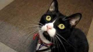 Download Tuxedo Cat Chattering Clicking his Jaws Video