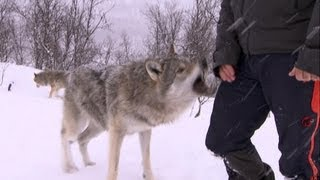 Download Terrifying Wolf Bites Steve | Deadly 60 | Series 2 | BBC Video