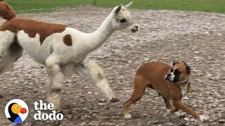 Download If You See This Alpaca .... RUN!!!!! | The Dodo Video