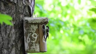 Download Trauerschnäpper im Nauheimer Wald Gebiet Hartmannsloch Teil I Video