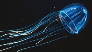 Download Amazing Jellies - KQED QUEST Video