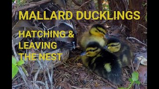 Download Wild Mallard ducklings hatching and leaving the nest Video