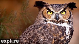 Download Great Horned Owl powered by EXPLORE.org Video