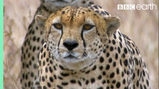 Download Three Cheetahs Vs Ostrich - Life - BBC Earth Video