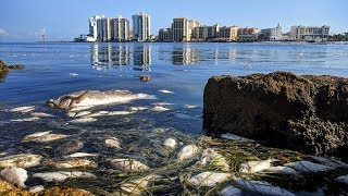 Download Hurricane Michael could end our Red Tide problem - or it could make it worse Video