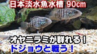 Download 【オヤニラミ】10匹導入! ドジョウと戦う!『日本淡水魚水槽90#18』 Video