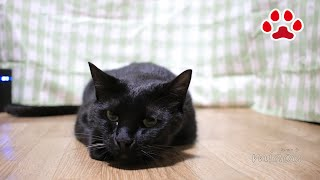 Download 黒猫のくろと首輪【瀬戸の黒猫日記】 Kuro and Collar Video
