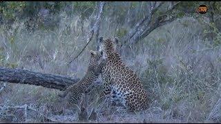Download Pt 2 Safari Live's Sunset Safari Drive at 4:30 PM on Jan 22, 2018 ( Thandi & Cub ) Video