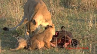 Download Lion cubs and mothers, playing and eating, get interrupted by Daddy Video