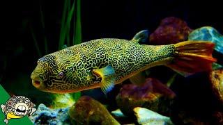 Download THE LARGEST FRESHWATER PUFFER. Tetraodon Mbu Puffer fish. Video