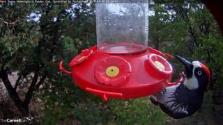Download Acorn Woodpecker Feeding On Near Port From Below, April 24, 2017—West Texas Hummingbird Cam Video