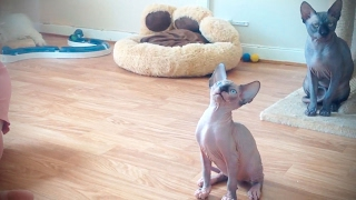 Download Sphinx Cats 😹 Funny Hairless Cats [Funny Pets] Video
