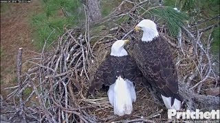 Download SWFL Eagles ~ Both Eggs Visible on Nest; M15 Brings Moss; Starlings Visit 11.28.16 Video