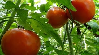 Download MAKING THE WORLD'S BEST TOMATO CAGES Video