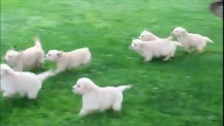 Download English Cream Golden Retriever Puppies For Sale Video