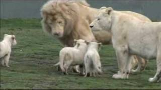 Download White Lion Cubs birth part 2 - starting to eat. Video