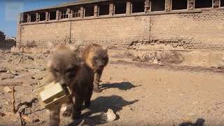 Download Hyena Cubs Steal Camera - Behind The Scenes - Planet Earth II Video