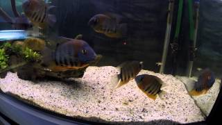 Download Moje niunie czyli Red Shoulder Severum, (Heros sp. rotkeil) Video