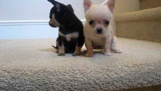 Download Teacup Chihuahua Puppies for Sale Video