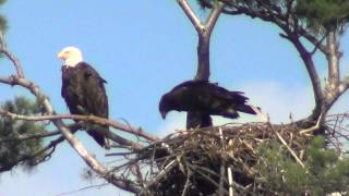 Download Young Eagle in nest ready to fly. Video