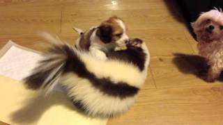 Download Skunk playing with a puppy! Video