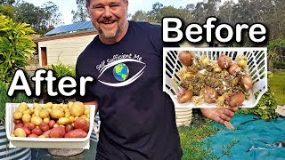 Download How to Grow Potatoes From Potatoes   That Have Gone Past Use By Video