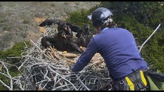 Download Sauces Channel Islands Eagle Cam ~ Banding Day; Removal Of Eaglets Part One 5.1.18 Video