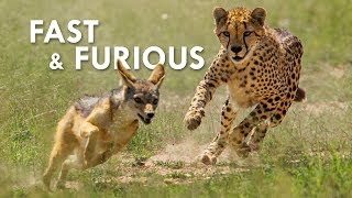 Download Cheetah Cubs Pretend to be Honey Badgers Video