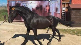 Download Así es la inseminación artificial en caballos Video