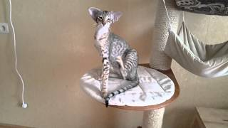 Download Young oriental and siamese cats Video