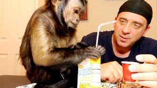Download Capuchin Monkey Juice Box! Video