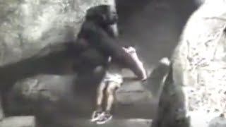 Download Gorilla Carries 3-Year-Old Boy to Safety in 1996 Incident Video