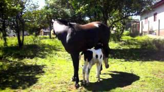 Download instinto materno ! égua adota bezerro - Soledade RS Video