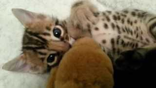 Download 3.5 week old bengal kitten...a troublemaker! Video