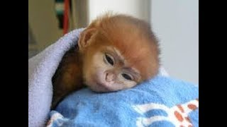 Download THE CUTEST MONKEYS YOU HAVE EVER SEEN || Cute Baby Monkeys Video Video