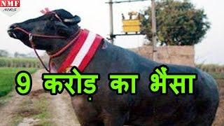 Download मिलिए Yuvraj से, जो है world का सबसे Strong भैंसा Video