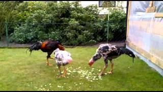 Download O Shamo Hühner Video