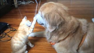 Download Kitten Growing up with Dog Best Friend Video