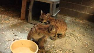 Download Orphaned cougar cubs given temporary home at Oregon Zoo Video