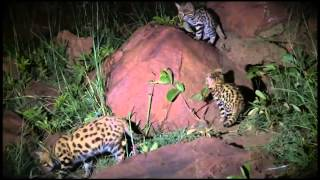 Download Wildlife Wonder-Black Footed Cats Video