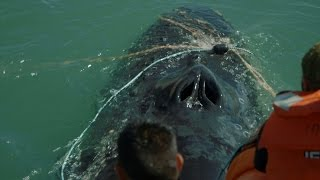 Download Heroes Rescue Humpback Whale from Illegal Fishing Nets Video