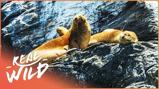 Download What Can We Learn About The Steller Sea Lion? | Wild Things Short Video