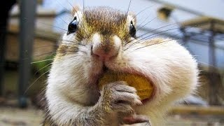 Download Best and funniest squirrel & chipmunk videos - Funny and cute animal compilation Video